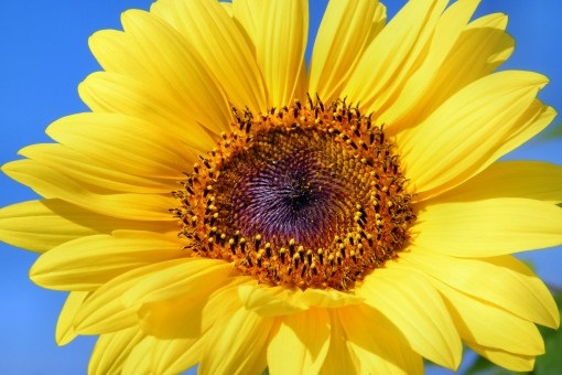 sun_flower_sunflower_flowers_summer_yellow_helianthus_sun_plant-1017217