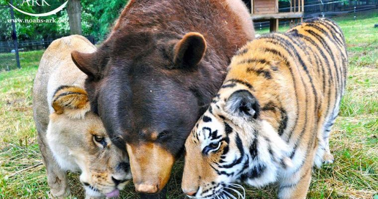 Famous tiger and bear say goodbye to their  Lion 'brother' after 15 years of friendship