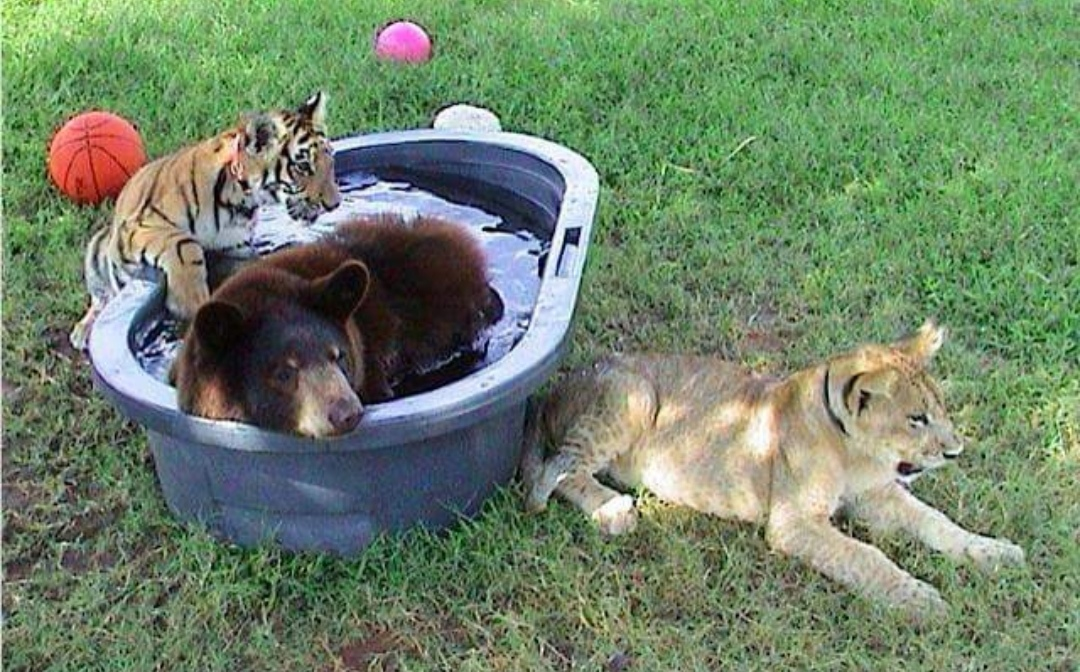 Famous tiger and bear say goodbye to their beloved lion