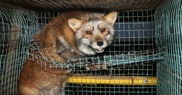 Norway Declares All Fur Farming Factories To Be Shutdown By 2025