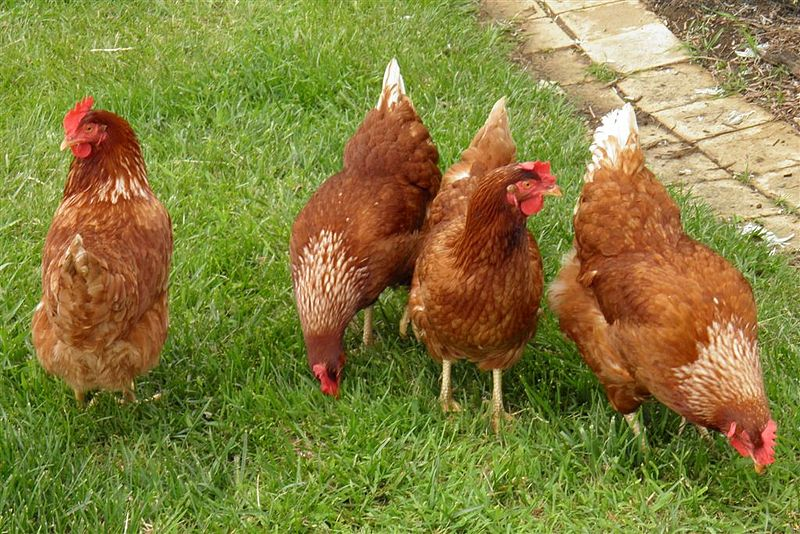 99.9 Percent of Chickens in US Are Factory Farmed